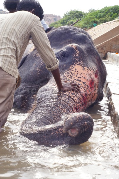 Lakshmi the Elephant Having A Wash
